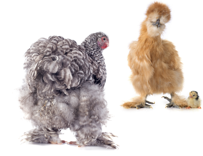 two different breeds of chickens