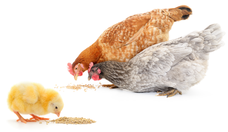 two chickens with a small chick eating food on ground