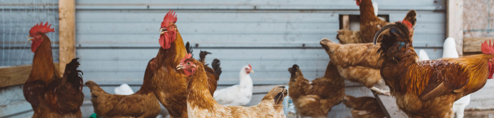 group of Rhode Island Red chickens
