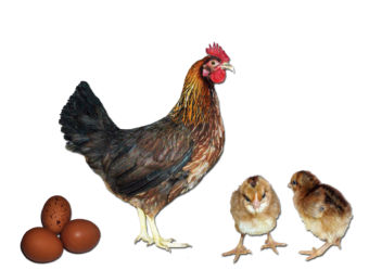 Welsummer Rooster, chicks, and eggs