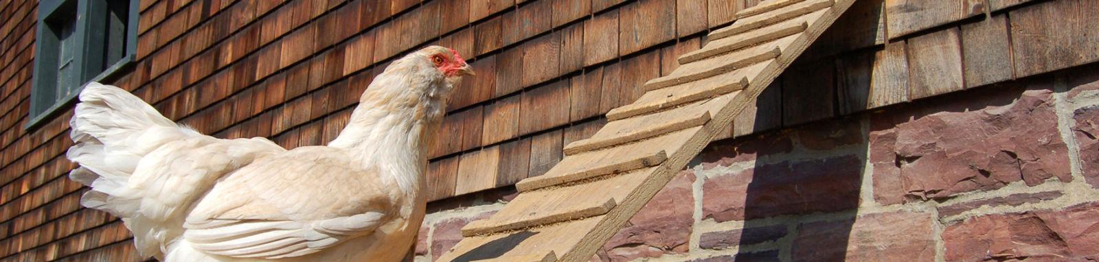chicken on a ramp