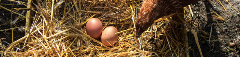 hen looking at eggs in a nest