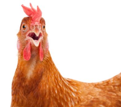 chicken with beak open