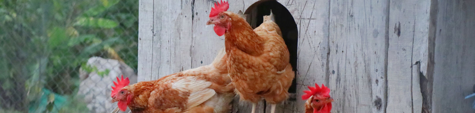 hens exiting a chicken coop