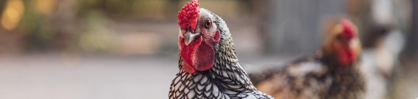 closeup of chicken's face