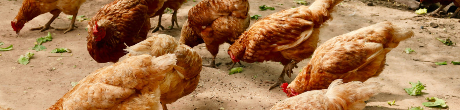 chickens eating greens scattered on ground