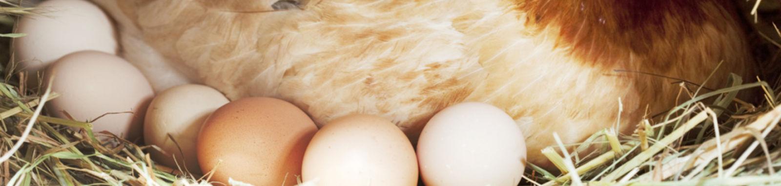 row of eggs under a hen