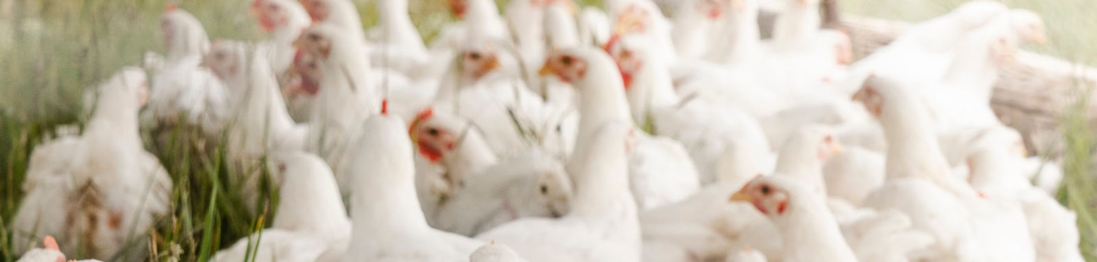 group of white chickens outside